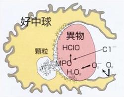 次亜塩素酸(HClO)は、顆粒球(好中球)の持つ除菌能力の本質である。